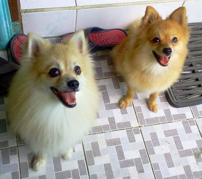 Image result for pomeranian dog, destroy